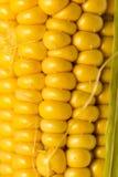 Żółci kukurydzani nasiona w cob jako tło Fotografia Stock