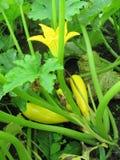 żółci kwiatów zucchinis Zdjęcie Royalty Free