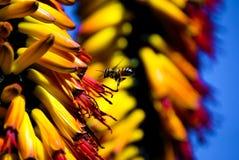 Żółci kwiaty, żółty tło, ruchliwie pszczoła fotografia royalty free
