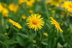 Żółci kwiaty Zdjęcie Royalty Free