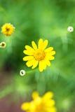 Żółci kwiaty Obraz Stock