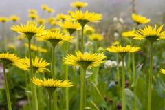 Żółci kwiaty Zdjęcia Stock