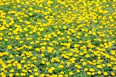Żółci kwiaty Zdjęcia Royalty Free
