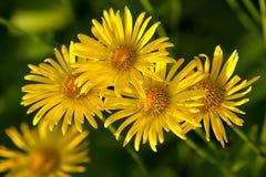 Żółci kwiaty Fotografia Royalty Free