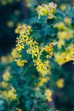Żółci kwiaty agrest Agrestowy Bush w wiośnie Na gałąź z zielonymi liśćmi kwitnął małych kwiaty Obraz Royalty Free