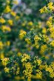 Żółci kwiaty agrest Agrestowy Bush w wiośnie Na gałąź z zielonymi liśćmi kwitnął małych kwiaty Obrazy Royalty Free