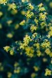 Żółci kwiaty agrest Agrestowy Bush w wiośnie Na gałąź z zielonymi liśćmi kwitnął małych kwiaty Obraz Stock