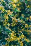 Żółci kwiaty agrest Agrestowy Bush w wiośnie Na gałąź z zielonymi liśćmi kwitnął małych kwiaty Zdjęcia Royalty Free