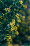 Żółci kwiaty agrest Agrestowy Bush w wiośnie Na gałąź z zielonymi liśćmi kwitnął małych kwiaty Zdjęcie Stock