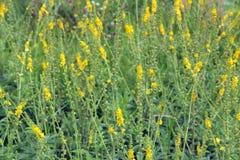 Żółci kwiaty Agrimonia eupatoria kwitnie w polu lecznicza roślina Obrazy Stock