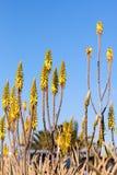 Żółci kwiaty aloes Vera przeciw niebieskiemu niebu zdjęcia stock