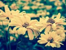 Żółci kwiaty heliopsis zbliżenie jesień łatwy karciany redaguje kwiaty wakacje modyfikuje tinted Zdjęcie Stock