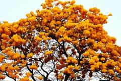 Żółci kwiaty Ipê drzewo zdjęcia royalty free