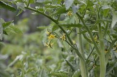 Żółci kwiaty kwitnący pomidory gotowi dla zapylania w szklarni Kwiaty pomidor na trzonie obrazy stock
