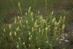 Żółci kwiaty Rezedowa lutea roślina fotografia stock