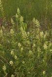 Żółci kwiaty Rezedowa lutea roślina fotografia royalty free