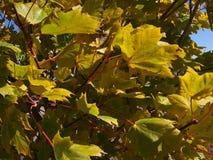 Żółci liście, światło słoneczne, niebieskie niebo obrazy royalty free