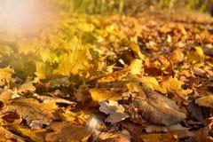 Żółci liście klonowi na ziemi pogodny jesień ranek sunlight jesienią zbliżenie kolor tła ivy pomarańczową czerwień liści obraz stock