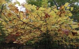Żółci liście rozciągają się out jak blin - ranek fotografia stock