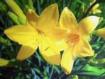 Żółci lillies Fotografia Royalty Free