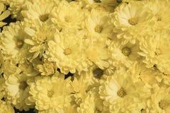 Żółci Mums Zdjęcie Stock