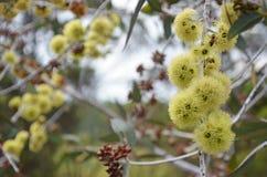 Żółci okwitnięcia Zachodni Australijski rodzimy Eukaliptusowy desmondensis zdjęcia royalty free