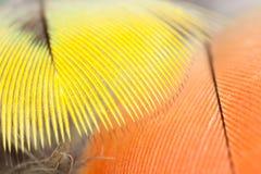 Żółci rosella papugi piórka Zdjęcia Royalty Free