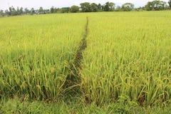 Żółci ryżowego irlandczyka pola Fotografia Royalty Free
