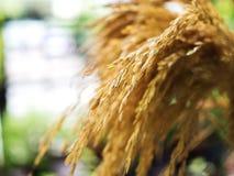 Żółci ryżowi pączki, tło zamazujący Obrazy Stock