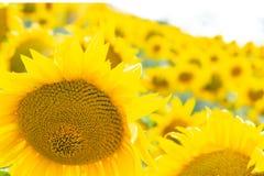 Żółci słoneczniki w polu Obrazy Stock
