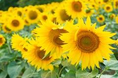 Żółci słoneczniki w polu Obrazy Royalty Free