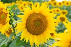 Żółci słoneczniki w polu Zdjęcie Royalty Free