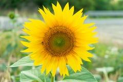 Żółci słoneczniki w polu Obraz Royalty Free