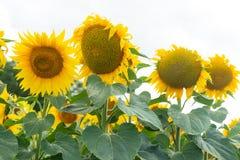 Żółci słoneczniki w polu Zdjęcie Stock