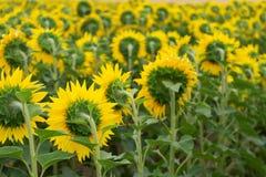 Żółci słoneczniki w polu Fotografia Royalty Free