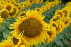 Żółci słoneczniki w polu Zdjęcia Royalty Free