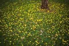 Żółci tabebuia kwiaty splattered na zielonej trawie w parku zdjęcia stock