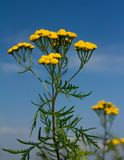 Żółci tansy kwiaty Zdjęcia Stock