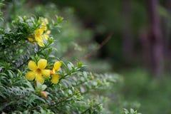 Żółci tropikalni kwiaty, Wietnam fotografia stock