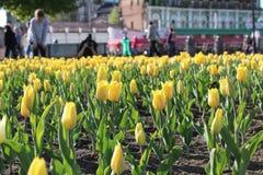 żółci tulipanów gonowie rozdzielenie obraz stock