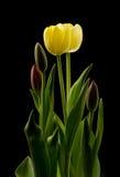 Żółci tulipanów okwitnięcia Zdjęcie Royalty Free