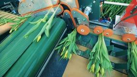 Żółci tulipany dostają rozdzielać mechanically zbiory wideo