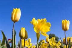 Żółci tulipany kwitną na łące obrazy royalty free