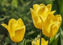 Żółci tulipany na słonecznego dnia zbliżeniu zdjęcia royalty free