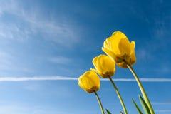 Żółci tulipany w świetle słonecznym błękitne niebo tło mleczy spring pełne meadow żółty zdjęcie royalty free