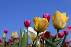 Żółci tulipany w Keukenhof obraz stock