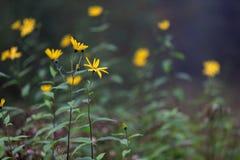 Żółci wildflowers na trawie Obraz Royalty Free