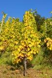 Żółci winogrady Fotografia Stock