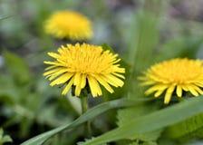 Żółci wiosen dandelions na zielonym tle Fotografia Stock