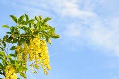 Żółta akacja na tle niebo obrazy royalty free
